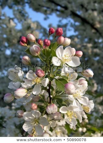 Deep pink blossom flowers on a crab apple tree Stock photo © sarahdoow