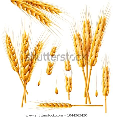 Valósághű fülek búza izolált mezőgazdaság természetes Stock fotó © MarySan