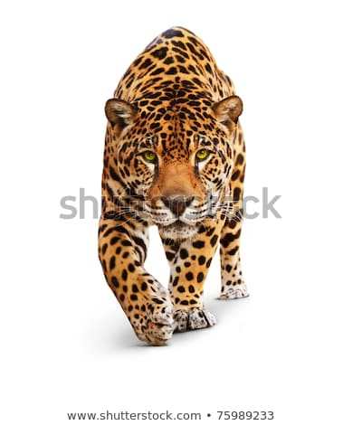 Wild jaguar animal on isolated background Stock photo © cienpies