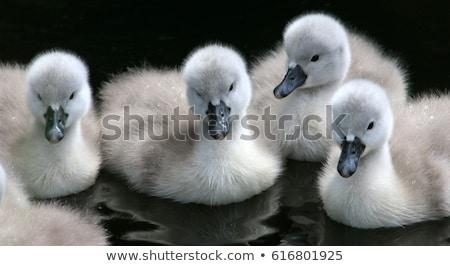 swan with cygnets on a lake stock photo © zurijeta
