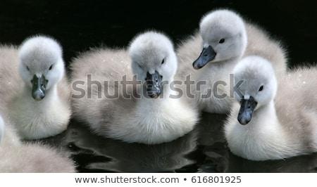 Hattyú tó család tavasz természet szépség Stock fotó © zurijeta