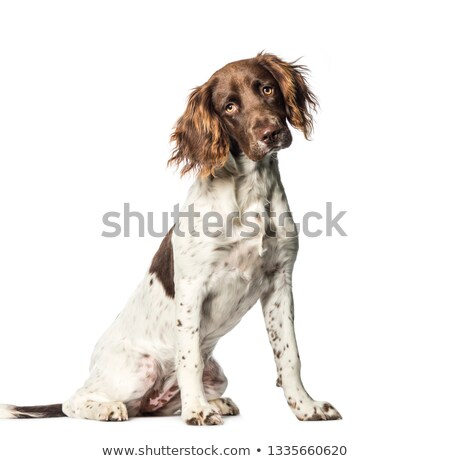Small munsterlander dog  Stock photo © eriklam