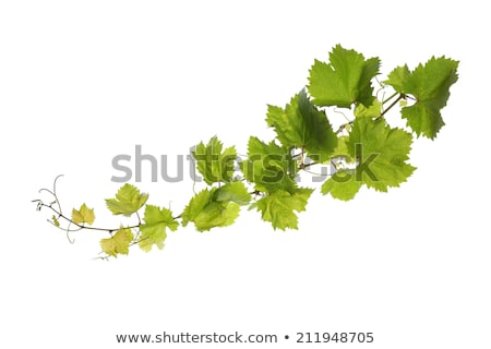 texture of the grape leaf Stock photo © Zhukow