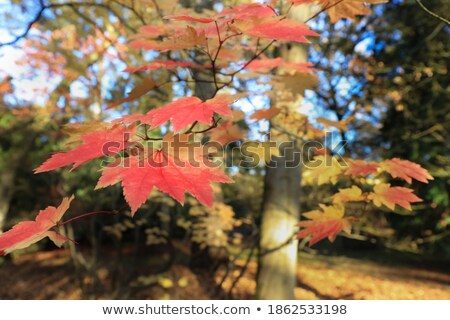 Acer japonicum. Blue and green Stock photo © dashapetrenko