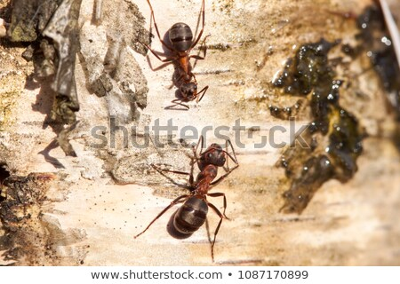 a brown ant on an tree trunk stock photo © kuzeytac