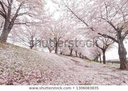 Foto stock: Florescimento · árvore · rua · bicicleta · flor