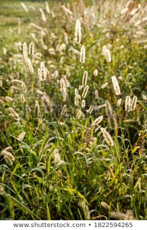 çimenli bitki Stok fotoğraf © njnightsky