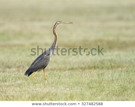 Stock photo: purple heron ardea purpurea