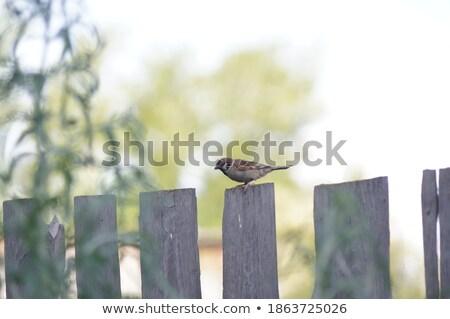 воробей проволоки забор дома Постоянный птица Сток-фото © taviphoto