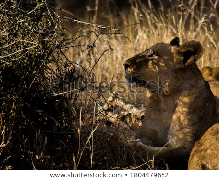 Lioness Looking Stock photo © KMWPhotography