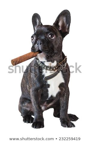 Köpek fransız buldok oturma puro beyaz Stok fotoğraf © OleksandrO