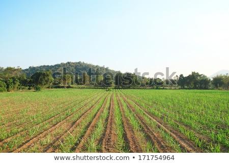 Sugarcane early growth field Stock photo © stoonn