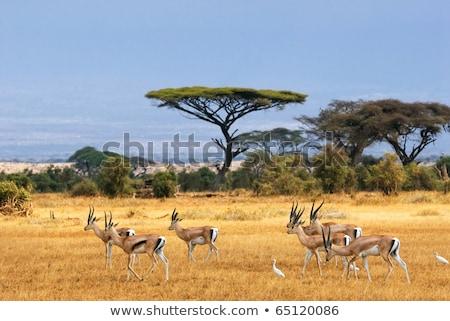 Gazelle africaine paysage illustration arbre nature Photo stock © adrenalina
