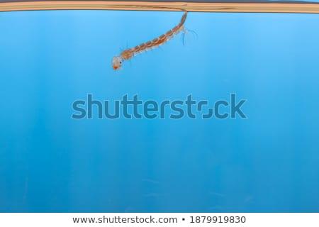 Newborn aedes albopictus mosquito Stock photo © smuay