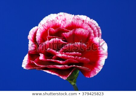 a vine plant with blue and carnation pink flowers stock photo © bluering