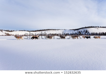 Sled dogs on the pack ice Stock photo © mady70