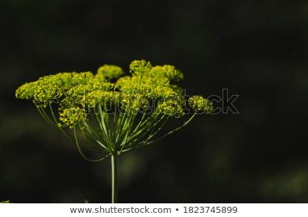 Big yellow dill flower  Stock photo © ultrapro