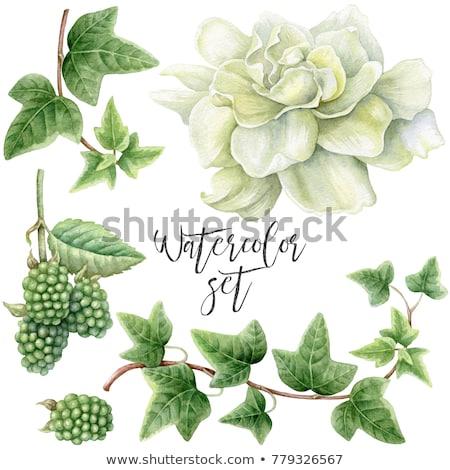 Szeder zöld levelek izolált fehér étel levél Stock fotó © All32