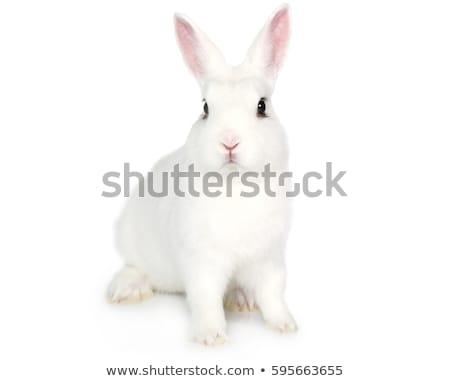 White Rabbit isolated. cute Hare. bunny Animal Stock photo © popaukropa