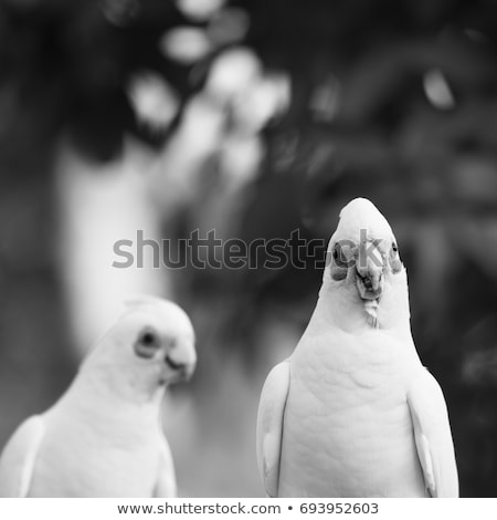 Corellas outside during the afternoon. stock photo © artistrobd