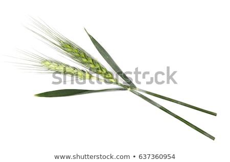 молодые · пшеницы · ушки · изолированный · белый · природы - Сток-фото © stefanoventuri