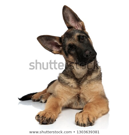 adorable german shepard lying leans its head to side Stock photo © feedough