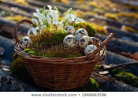 Easter background with quail eggs and snowdrop flowers Stock photo © mythja