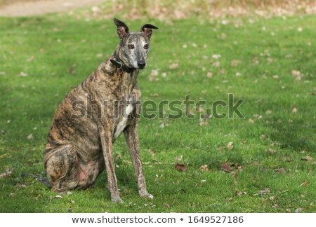 A greyhound in nature background Stock photo © bluering