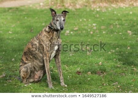 Tazı doğa örnek ağaç bahar köpek Stok fotoğraf © bluering