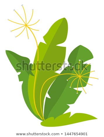 Vegan Product, Rucola or Fennel, Harvest Vector Stock photo © robuart