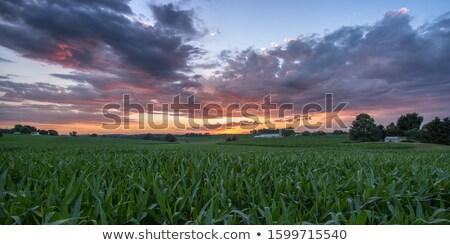 Naplemente kukoricamező sugarak napfény ragyogó felhők Stock fotó © lichtmeister