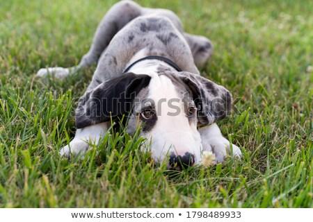 Portrait of a cute Great Dane puppy Stock photo © vauvau