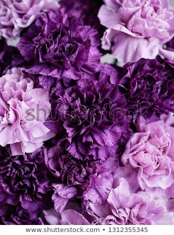 Roxo cravo flor florescer abstrato floral Foto stock © Anneleven