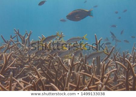 Goatfishes Swimming Over Reef Stock photo © Laracca