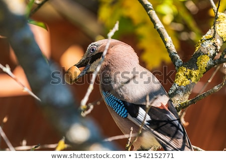 the oak acorn on blue sky stock photo © njaj