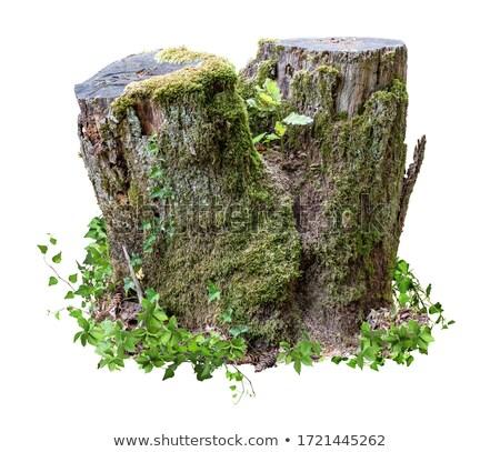 old tree stub Stock photo © prill