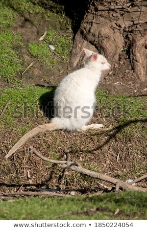 Albino Wallaby eating Stock photo © KMWPhotography