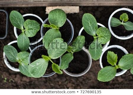 Kabak pot genç beyaz yaprak taze Stok fotoğraf © doupix