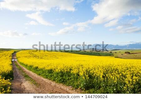 yellow canola fields overlooking a valley stock photo © avdveen