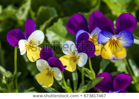 üç renkli güzel mavi çiçekler bahçe bitki Stok fotoğraf © stevanovicigor