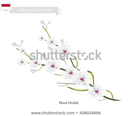 Phalaenopsis Aphrodite (Moon Orchid) Stock photo © aladin66