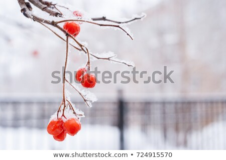 red berries covered with snow stock photo © rglinsky77