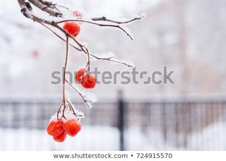 Foto stock: Rojo · bayas · cubierto · nieve · panorámica · vista