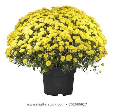 黄色 秋 菊 孤立した 白 テクスチャ ストックフォト © tetkoren