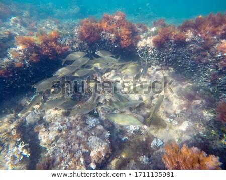 Mediterranean underwater seaweed algae in Denia Javea Stock photo © lunamarina