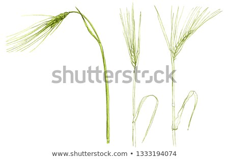 Vert orge main printemps herbe paysage Photo stock © mycola
