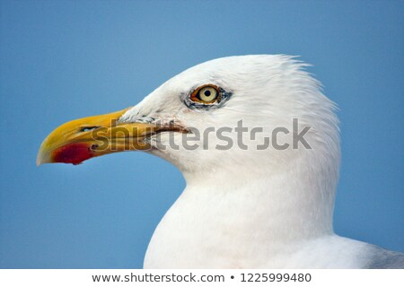 seagull with food in the pecker stock photo © meinzahn