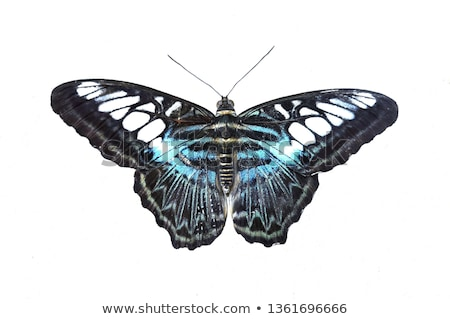 Clipper butterfly Stock photo © smuay