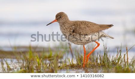 Common Redshanks in nature Stock photo © ivonnewierink