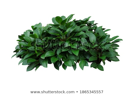 Bush with green leaves Stock photo © LoopAll